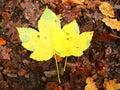 Broken yellow maple leaf on orange beeches leaves ground vivid autumn colors Stock Photography