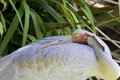 Brolga (Australian crane) Royalty Free Stock Photo