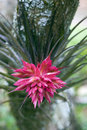 Bromelia Tillandsia geminiflora Royalty Free Stock Photo