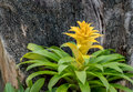 Bromeliaceae Royalty Free Stock Photo
