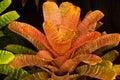Bromeliad Stock Photos