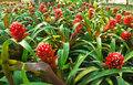 Bromeliad, Ananas Comosus, Pineapple Stock Photo