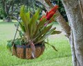 Bromeliad close up of a beautiful blooming or airplant Stock Images