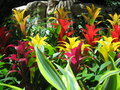 Bromeliad colorful plants in bloom Royalty Free Stock Photography