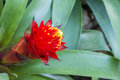Bromeliad flower Stock Photo