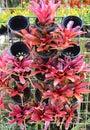 Bromeliad flower farm in botanic garden beautiful tropical plant Stock Image