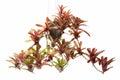 Bromeliad in flowerpot Royalty Free Stock Photo