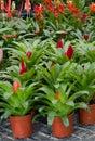 Bromeliad flowers blooming in flower pot Stock Image