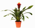 Bromeliad isolated on white background Royalty Free Stock Photography