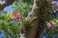 Bromeliad Tillandsia Geminiflo...