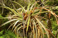 Bromeliad in a tropical tree the everglades Royalty Free Stock Images