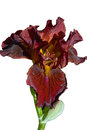 Bronze coloured bearded iris single flower against white background Royalty Free Stock Images