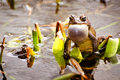 Bronze frog lithobates clamitans clamitans making mating call Royalty Free Stock Images
