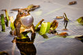 Bronze frog lithobates clamitans clamitans making mating call Stock Photography