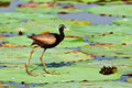 Bronze winged Jacana Stock Photo
