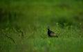 Bronze winged Jacana bird