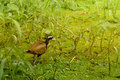 Bronze-winged Jacana Bird, Metopidius indicus,