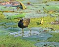 Bronze-winged jacana Royalty Free Stock Photo