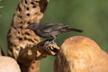 Bronzed cowbird adult on cactus Royalty Free Stock Images