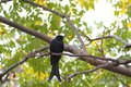 Bronzed Drongo,Dicrurus aeneus Royalty Free Stock Photography