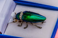 Brooch jewelry from metallic wood-boring beetle. Royalty Free Stock Photo