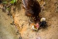 A brood foraging little chick try to with hen Royalty Free Stock Photo