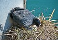 Brooding black coot hen on a nest with eggs Royalty Free Stock Image