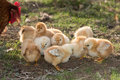 Brooding hen and chicks in a farm chicken Royalty Free Stock Photos