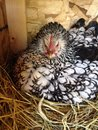 Brooding hen a sitting on a nest full of eggs Stock Photography