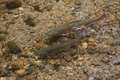 Brook trout in the brook a pair of a clear mountain spring with a rocky bottom Royalty Free Stock Photos