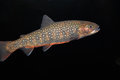 Brook trout Royalty Free Stock Photo