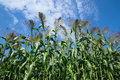 Broom corn tall in field against blue sky Royalty Free Stock Images