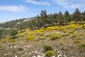 Broom grove cytisus purgans in casillas mountain pass iruelas valley natural park avila spain Stock Photo