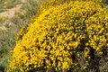 Broom shrub flowering in its distinct vibrant yellow Stock Images