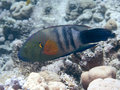 Broomtail wrasse in red sea Stock Photos