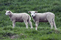Brother and sister two young lambs in spring Royalty Free Stock Photo