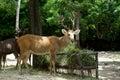 Brow antlered deer closeup of in the zoo Stock Photo