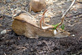 Brow antlered deer eld s deer Stock Photo