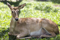 Brow antlered deer elds on the grass Stock Images