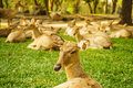 Brow antlered deer a group of thai in the zoo Royalty Free Stock Image