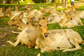 Brow antlered deers a group of thai in the zoo Stock Photography