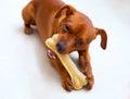 Pinč pes jesť kosť