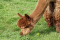 Brown Alpaca Stock Images