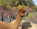 Brown Alpaca in a fall pasture Stock Photos
