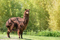 Brown alpaca on grass Stock Photo