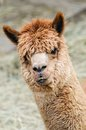 Brown alpaca head of a curious looking at the camera Royalty Free Stock Image