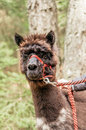 Brown alpaca with rein fluffy red Royalty Free Stock Images