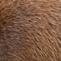 Brown Animal Fur