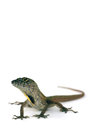 Brown anole lizard anolis sagrei against white background Royalty Free Stock Photography