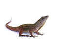 Brown anole lizard anolis sagrei against white background Stock Image
